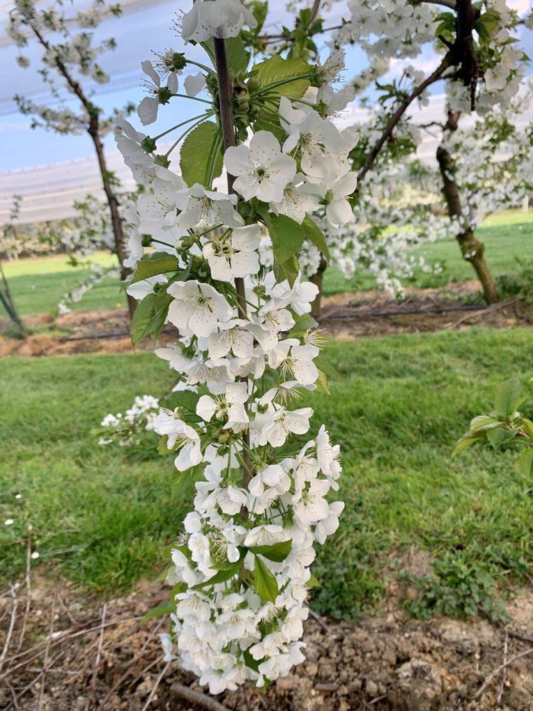 kersenplantage-in-volle-bloei