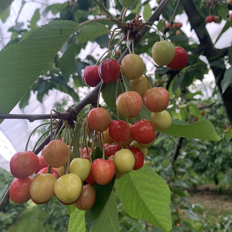 Kersenras-Regina-geel-rood